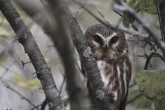 sawheetie pie (kallo39) Tags: sawwhetowl owl kingston islands ontario canada birdofprey amherstisland inexplore