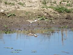 Erythrogonys cinctus (Barry M Ralley) Tags: dotterel cinctus redkneed erythrogonys road nabiac dargavilles australia m barry nsw ralley ausbird ausbirds barrymralley