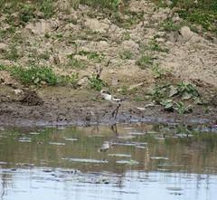 Erythrogonys cinctus (Barry M Ralley) Tags: dotterel cinctus redkneed erythrogonys road australia m barry nsw nabiac ausbird ausbirds dargavilles ralley barrymralley