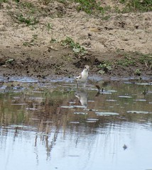 Erythrogonys cinctus (Barry M Ralley) Tags: dotterel cinctus redkneed erythrogonys road australia barry nsw nabiac ausbird ausbirds dargavilles m ralley barrymralley