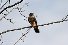 Merlin (Falco columbarius) (KristenMartyn) Tags: tour tours ontario wildlife travel tourism ecotourism bird birds birdwatching birding falcocolumbarius merlin merlins raptor raptors falcon falcons birdsofprey