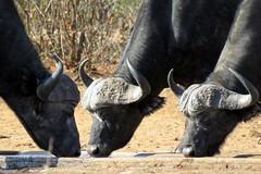 Cape Buffalo drinking water from a manger - Kruger National Park (Pixi2011) Tags: buffalo capebuffalo krugernationalpark southafrica africa wildlifeafrica wildanimals animals nature
