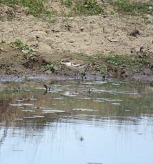 Erythrogonys cinctus (Barry M Ralley) Tags: dotterel cinctus redkneed erythrogonys road australia m barry nsw ralley nabiac ausbird ausbirds barrymralley dargavilles
