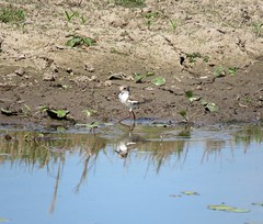 Erythrogonys cinctus 1 (ftbirds) Tags: dargavilles road nabiac nsw australia ausbird ausbirds barry m ralley barrymralley erythrogonys cinctus redkneed dotterel