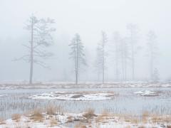 A misty day on the mire. (Fjällkantsbon) Tags: lappland sverige dimma evamårtensson högland doroteakommun västerbottenslän sapmi taiga mist fog mire bog myr
