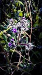 purple thorny hairy flowers herbs (Ahmed N Yaghi) Tags: wild flowers gaza purple thorny hairy