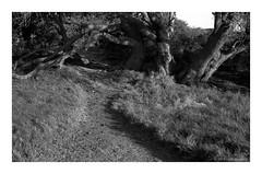 coastal tree and path, Sydney 2019  #902 (lynnb's snaps) Tags: 6x9 bessaii deewhy kodaktmax100 tmaxdeveloper tmy100 film mediumformat nature rangefinder tree trees wetlands 2019 sydney australia sanddunes coastal voigtlanderbessaiicolorskopar105mmf356x9foldingrangefindercamera rff grass landscape bw blackandwhite bianconegro biancoenero blackwhite bianconero blancoynegro noiretblanc schwarzweis monochrome ishootfilm filmfilmforever filmneverdie 120film