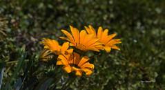 Wildflowers (njohn209) Tags: d500 nikon nz nature