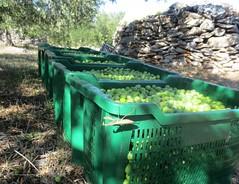 Bogomoljka i masline - Praying mantis and olives (Hirike) Tags: prayingmantis mantisreligiosa bogomoljka olives masline croatia hrvatska brač postira