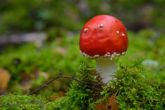 In the middle of the moss 🍄 (Martin Bärtges) Tags: deutschland germany macrophotography macrolovers makroliebhaber makrofotografie makro macro naturelovers naturliebhaber natur naturfotografie naturephotography nature farbtupfer grün green farbenfroh colorful autumn autumncolors rot red herbstfarben herbst nikonphotography nikonfotografie mirrorless z6 nikon woods wald forest outside outstanding outdoor drausen moos moss pilze mushroom