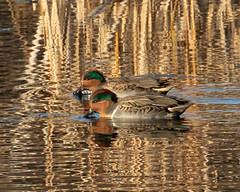 Green-winged Teal pair (fisherkingbat) Tags: teal greenwingedteal wadingbirds duck