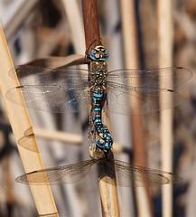 Aeshna mixta. (J Carrasco (mundele)) Tags: calzadilla extremadura insectos odonatos anisoptera aeshnidae aeshna