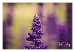 Trying to be a Christmas tree (Bob Geilings) Tags: purple flora flower lavender mood season yellow green background bokeh macro nature plant petals