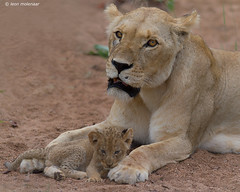 Proud lioness and cub (leendert3) Tags: leonmolenaar southafrica krugernationalpark wildlife wildanimal wilderness nature naturereserve naturalhabitat mammals africanlion ngc sunrays5 npc