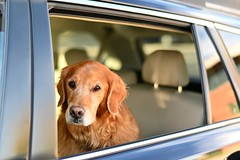 just curious (l i v e l t r a) Tags: f18 curious dog car waiting window look unsure wait z6 sunlight autumnlight