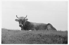 SCAN 14 (doc-harvey) Tags: hwschlaefer docharvey film leica m3 summicron50dr kodak trix400 tx400 switzerland cow kuh scan from print analog analogue schwarzweis bw bwfp blackandwhite blancetnoir