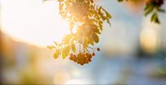 Uppsala, September 26, 2019 (Ulf Bodin) Tags: höst sorbusaucuparia sverige canonrf85mmf12lusm uppsala sweden outdoor rowanberries canoneosr autumn rönnbär uppsalalän