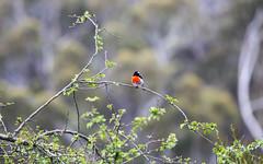 Uprising (Keith Midson) Tags: robin redbreast bird tree kingston tasmania