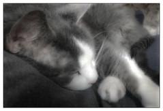 Dreamland (Timothy Valentine) Tags: sleeping cat happycaturday home 2019 1019 quinnomannion eastbridgewater massachusetts unitedstatesofamerica