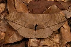 Monkey Moth (Ganisa pandya, Eupterotidae) (John Horstman (itchydogimages, SINOBUG)) Tags: insect macro china yunnan itchydogimages sinobug entomology canon moth lepidoptera brown crypsis camouflage eupterotidae fbipm tumblr