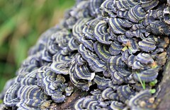 Turkeytail (trametes Versicolor) (Dave Russell (1.5 million views thanks)) Tags: turkeytail turkey tail fungus mushroom trametes versicolor polyporaceae polypore nature outdoor photo photography photograph isle island arran clyde west western scotland ecosse canon eos eos7d 7d wild