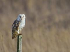 Good morning Barny 😊 (Ted Smith 574) Tags: barn owl avril