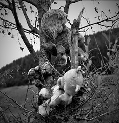 More weird spooky toys (Dave Russell (1.5 million views thanks)) Tags: eas mor kildonan isle island arran clyde west western scotland ecosse tree hang hanging stuffed toy toys bear bears spooky weird photo photograph photography outdoor haloween teddy canon eos eos7d 7d bw black white blackandwhite mono monochrome haunting haunted