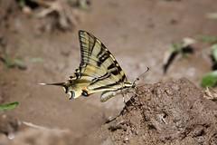 Borboleta Zebra (Carlos Santos - Alapraia) Tags: borboleta ngc flickrcentral ourplanet animalplanet canon nature natureza wonderfulworld highqualityanimals unlimitedphotos fantasticnature butterfly borboletazebra