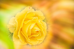 Rose (Guy_D_2018) Tags: vauréal iledefrance цветок lule blumen ծաղիկ кветка цвете 花 flower 꽃 cvijet blomst flor lill kukka blodyn ყვავილების λουλούδι virág bunga bláth blóm fiore zieds gėlė цвет voninkazo fjura फूल bloem ਫੁੱਲ gul گل kwiat floare kvetina cvet blomma květina ดอกไม้ çiçek квітка hoa בלום زهرة fleur