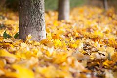 Yellow carpet, Norway (KronaPhoto) Tags: høst natur yellow gul leaf leaves blader autumn nature tree trees trær drammen norway høstfarger dof