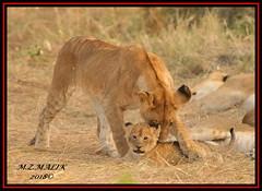 YOUNG SUB-ADULT LION WITH CUB (Panthera leo)  ......MASAI MARA......SEPT 2018. (M Z Malik) Tags: nikon d3x 200400mm14afs kenya africa safari wildlife masaimara keekoroklodge exoticafricanwildlife exoticafricancats flickrbigcats lioncubs leo pantheraleo ngc npc