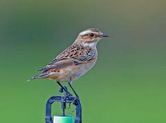 Whinchat. (pecky2013) Tags: whinchat speciessaxicolarubetra birdsofgreece heathlands summervisitors openmeadows moorland