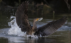 Cormorant (Ann and Chris) Tags: cormorant fish wildlife nature waterbird wings escape lake feeding catch
