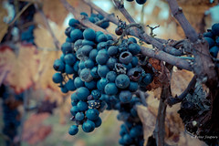 I only drink wine when I'm alone or with someone (Peter Jaspers) Tags: frompeterj© 2019 olympus zuiko omd em10 1240mm28 alsace vignoble vienyard hautrhin grandest hunawihr autumn fall dof wine vin gewurztraminer riesling pinotgris routesdesvins routedesvinsdalsace pinotblanc sylvaner muscat crémantd'alsace grapes raisins millésime vintage