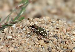 0S8A6590. Dune Tiger Beetle (Cicindela hybrida) (Nick Ransdale) Tags: cicindelahybrida dunetigerbeetle