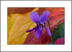 Klimawandel ? (Climate Change ?) (alfred.hausberger) Tags: veilchen garten oktober klimawandel