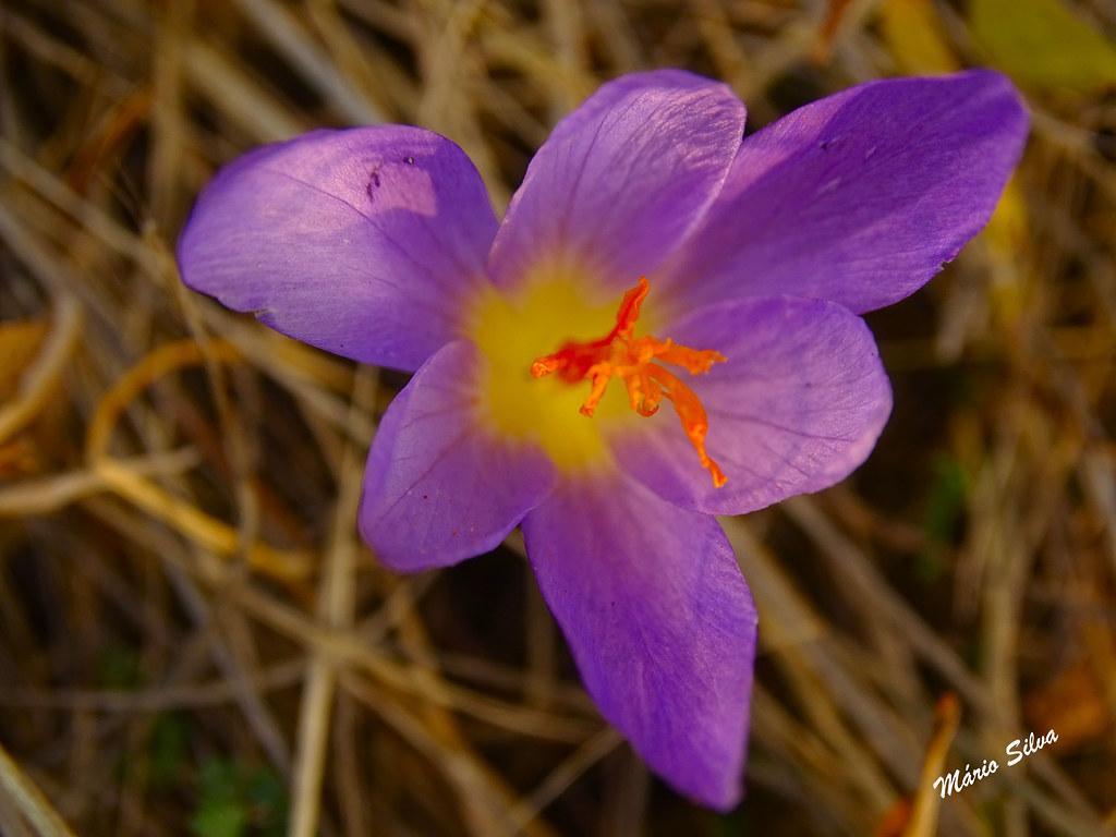 """Águas Frias (Chaves) - ... flor campestre - açafrão-bravo (""""Crocus serotinus"""") ..."""
