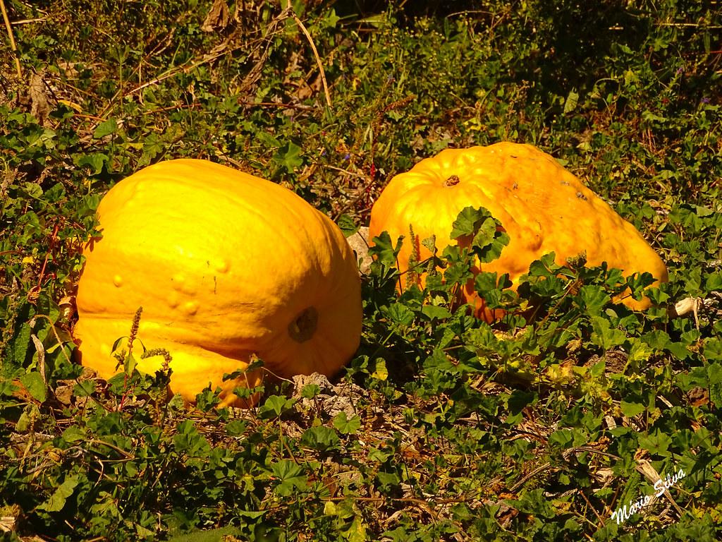 """Águas Frias (Chaves) - ... Cabaças ou abóboras (""""Cucúrbita moschata""""), prontas a ser colhidas ..."""