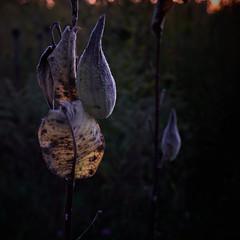 milkweed, at dusk, looking west, 10-18-19 (wbhmatthies) Tags: milkweed dusk west fall glow panasonic panasonics1 gcs1 capture one 12 pro captureone12pro wild field wilhelm matthies