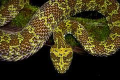 Mangshan pit-viper Protobothrops mangshanensis (Matthieu Berroneau) Tags: nature animal wildlife sony alpha sonya7iii fe90f28macrogoss a7iii sonyalpha7iii sonya7mk3 sonyalpha7mark3 china amazing reptile endemic rare herp chine cryptic herping 7iii sel90m28g sonyilce7m3 objectifsony90mmf28macrofe sonyfesonyfe2890macrogoss 7mk3 de snake pit serpent viper reptilia reptilian crotale mangshan endémique mangshanensis protobothrops protobothropsmangshanensis mangsha crotaledemangsha mountain mt chinese mang pitviper mangmountainpitviper zhaoermia trimeresurus ermia mangshanpitviper mtmangpitviper