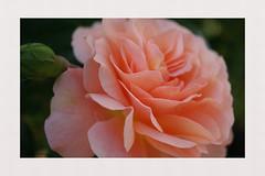 Happy weekend (**Karin**) Tags: weekend love rose