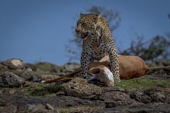 Leopard kill (andy_harris62) Tags: leopard leopardkill safari wildlife wildlifephotography nature naturephotography kicheche kichechecamps nikond850 nikkor300mmf28 nikon outside outdoors