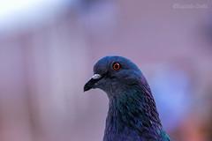 scusate se sono un im..piccione 😎senese (Eugenio GV Costa) Tags: approvato animal animali animals piccioni outside