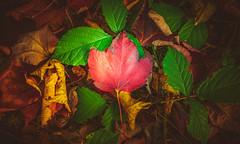 Colourful leaves (Dhina A) Tags: sony a7rii ilce7rm2 a7r2 a7r fe 55mm f18 za 18 carl zeiss sonnar t sel55f18z colourful leaves colors autumn
