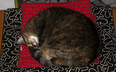 Alice in dad's chair (Alfredo Liverani) Tags: happy caturday happycaturday cat cats gato sleepingmode sleeping mode havinganap having nap canon m50 eos eosm50 canoneosm50 eoskissm canonm50 pointandshoot point shoot ps flickrdigital flickr digital camera cameras europa europe italia italy italien italie emiliaromagna romagna faenza faventia faience animal kitten gatto gatta gatti gatte chats chat katze katzen gatos pet pets tabby furry kitty moggy moggies gattino animale animaledomestico aliceellen alice 2962019 project365296 project365102319 project36523oct19 oneaday photoaday pictureaday project365 project project2019 2019pad