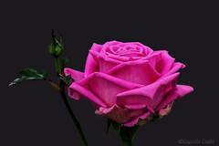 Rosa Rosae ( Rosa DeGregorium ) (Eugenio GV Costa) Tags: approvato macro fiori rosa pink flowers flower fiore flora