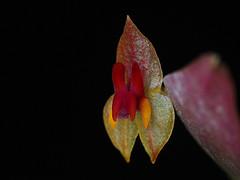 Lepanthes regularis (Thomas Ditlevsen) Tags: orchid orchids orquidea orquideas orchidspecies orchidaceae lepanthes lepanthesregularis miniatureorchid pleurothallidinae