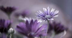 Beauty in purple ! (Tahar Benk) Tags: blooming flower floral blossom botanical flowerhead gerbera plant flora spring garden green beautiful pink beauty red natural closeup