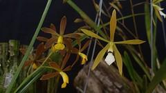 Encyclia conchaechila (left) & Encyclia linearifolioides (right) (Cassano, A.) Tags: orchid orquidea flower flor nature encyclia encyclialinearifolioides encycliaconchaechila