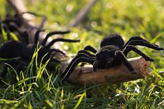 Spinnenalarm zu Helloween! (photobiene) Tags: wood grün spider joke backlit bokeh gegenlicht green schwarz spas black creepycreatures smileonsaturday spinnen holz scherz